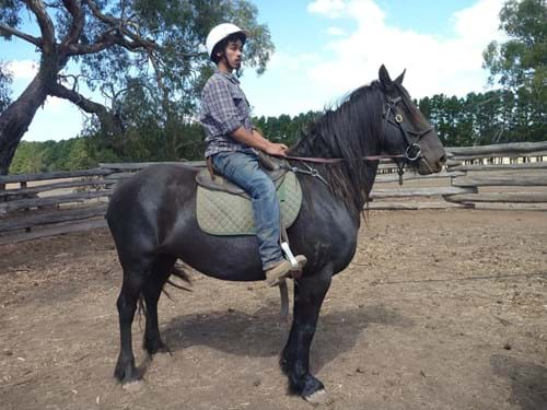 LOT 103	~	ALLISON II FRIESIAN WARMBLOOD MARE BJAN 2012. GREEN BROKEN TO HARNESS & SADDLE