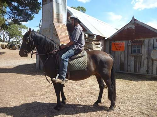 "LOT 102	~	""CLIVE"" PART FRIESIAN GELDING. BROKEN TO SADDLE"
