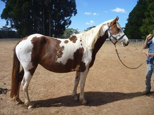 "LOT 100	~	""HEATHCOTE"" COLOURED MARE (NOT REGISTERED) TESTED & IN FOAL TO PURE FRIESIAN STALLION"