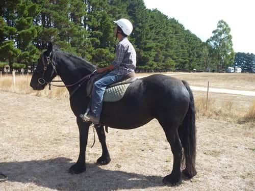 "LOT 99	~	""MARTHA"" FRIESIAN / WARMBLOOD MARE B2004 REGISTERED WITH PAPERS. RIDING & HARNESS"