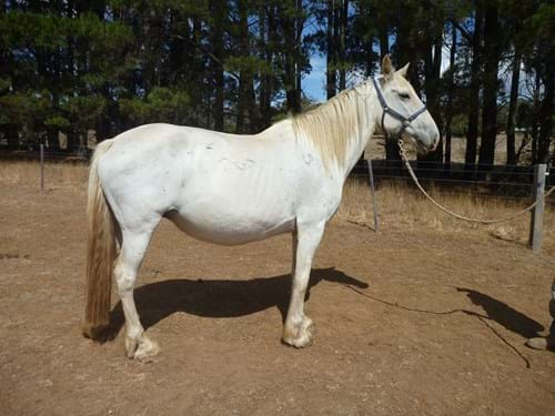 "LOT 101	~	""POSSOM"" PART ANDALUSIAN MARE B2007. REGISTERED WITH PAPERS. TESTED & IN FOAL TO PURE FRESIAN STALLION"
